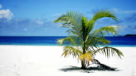 Coconut palm on the beach video