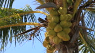 Coconut palm tree video