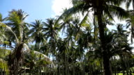 Coconut palm trees plantation in Philippines video