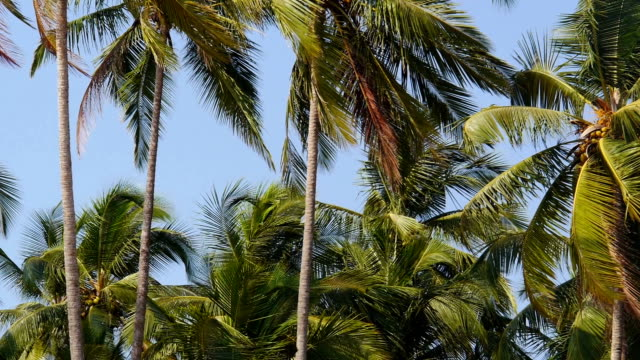 coconut palms in Palolem Goa India video