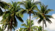 Coconut palms on Koh Chang island in Thailand video