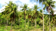 Coconut palms on the Koh Chang island, Thailand video