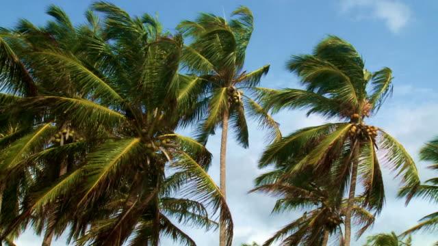 Coconut palms video