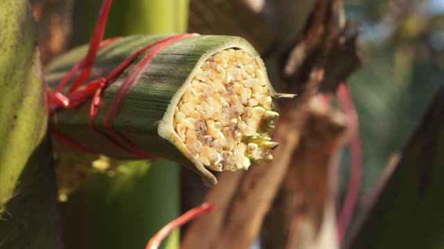 Coconut sugar liquid drops from cut fresh palm leaves in South East Asia video