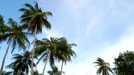 Coconut tree on the beach. video