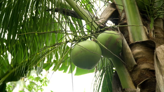 Coconut tree with coconuts video