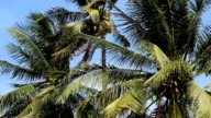 Coconut trees gently sways amidst a blue sky video