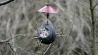 coconut with fat. birdfeeder. feeding birds in winter. video