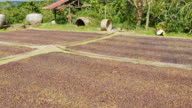 Coffee beans drying in the sun. video