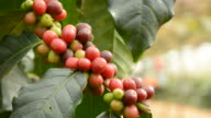 Coffee beans on coffee tree video
