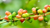 Coffee beans. video
