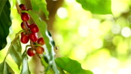 Coffee cherries on branch video