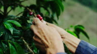 A coffee farmer softly picks the ripe coffee cherries from a coffee tree on his farm. This is where your cup of coffee starts from! A tree, usually deep in a remote forest, that grow red cherries, with two coffee beans in each cherry. video