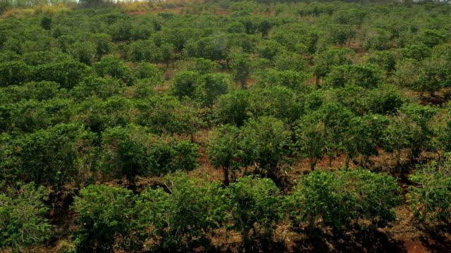 Coffee Fields Filmed from a Drone UAV video