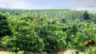 Coffee plantations of Eastern Vietnam video