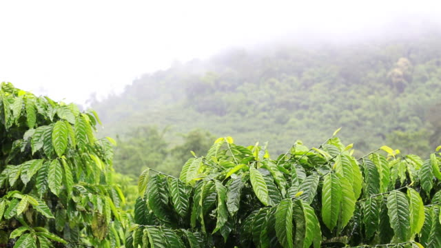 Coffee plants in Thailand, Nature Background video