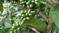 Coffee Plants, Plantations, Farms, Nature video