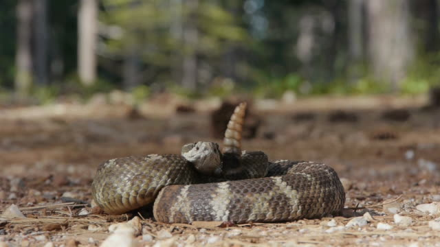 Coiled Pacific rattlesnake ready to strike video