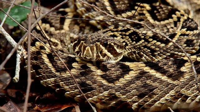 Coiled up Eastrern Diamondback Rattlesnake moving video