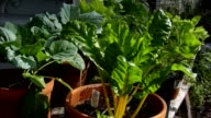 Collards and Chard Growing in Containers video