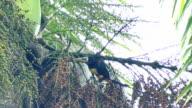 Collared Aracari (Pteroglossus Torquatus) feeding on fruits while perched in palmtree video