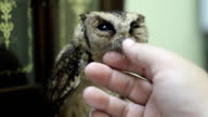 Collared scops owl orphaned children are taken care volunteer staff. video