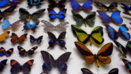 A collection of colorful and very beautiful butterflies behind the glass video