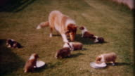 Collie And Pups 1940's video