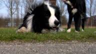 Collie close-up video
