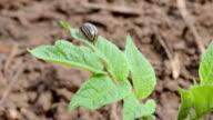 colorado beetle on spring potato green leaf video