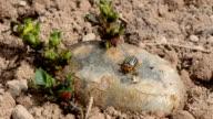 colorado beetle on spring potato video