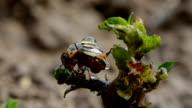colorado beetle with rain drops on spring potato bud video