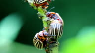 Colorado beetles on potato plant video