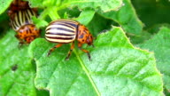 Colorado potato beetle on green leafs video