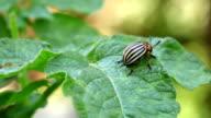 Colorado potato beetle on leafs video
