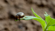 Colorado potato beetle (Leptinotarsa decemlineata) on plant video