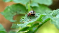 Colorado potato beetle video