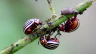Colorado potato beetles, plant pest, insects vermin video