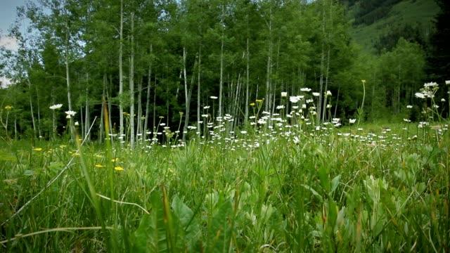 Colorado Summer Alpine Wildflowers and Mountain Aspen Grove LOOP video