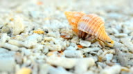colorful and big Hermit crab try to start video