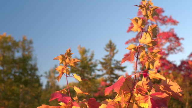 CLOSE UP DOF: Colorful autumn foliage leaves on the top of the maple tree canopy video