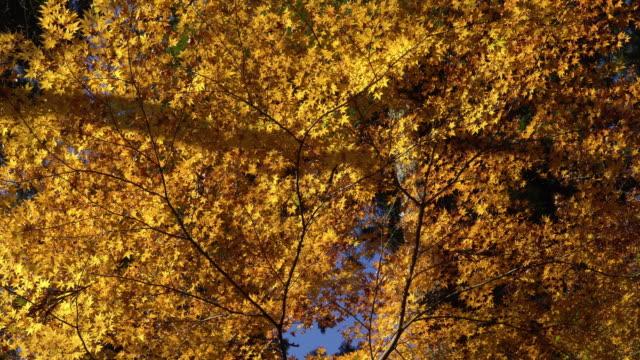 Colorful Autumn Leaf in korankei, Japan video