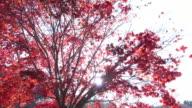 Colorful Autumn Leaf in Obara, Japan. video