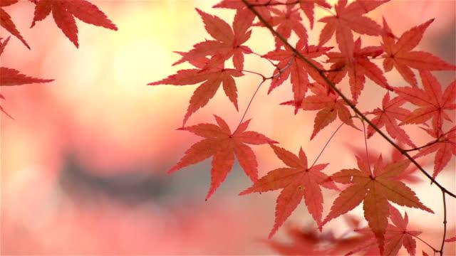 Colorful Autumn Leaf Season in Japan video