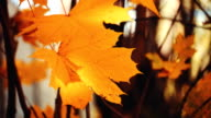 Colorful autumn leaves in the sun beams video