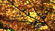 Colorful Autumn Tree In The Sunlight video