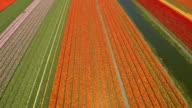 AERIAL: Colorful blooming tulips on vast agricultural field next to small river video