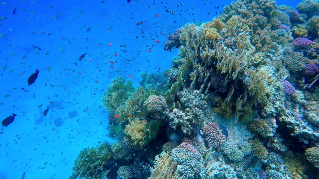Colorful Coral reef with lot of fish on Marsa Alam video
