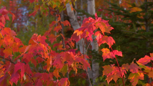 CLOSE UP DOF: Colorful fall foliage growing on maple tree branches in forest video
