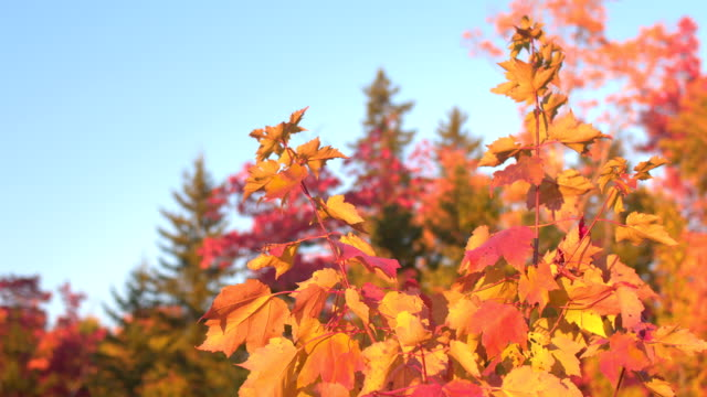 CLOSE UP DOF: Colorful fall foliage leaves on the top of the maple tree canopy video